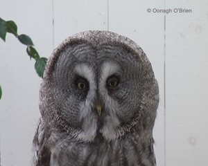 Owl, 2008